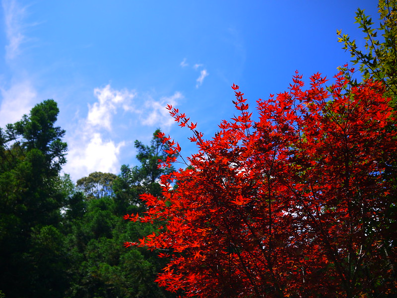 杉林溪花開