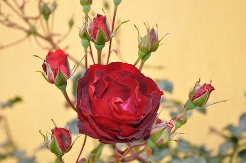 Rosas Rojas ( EXPLORE )