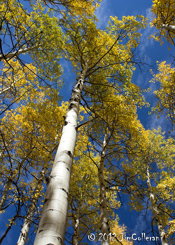 Autumn Aspens by jim.colleran