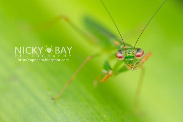 Praying Mantis (Mantodea) - DSC_6288