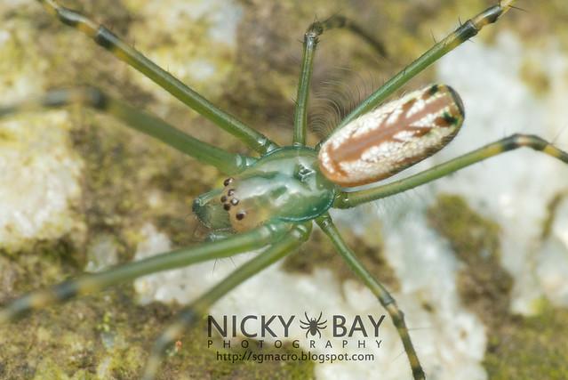 Long-Jawed Spider (Leucauge sp.) - DSC_5835b
