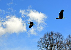 The bandurrias flight