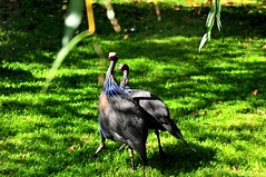 Pintades vulturines