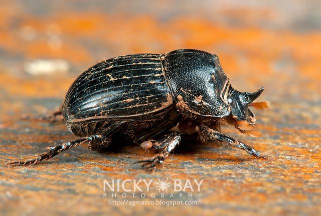 Dung Beetle (Scarabaeidae) - DSC_3855