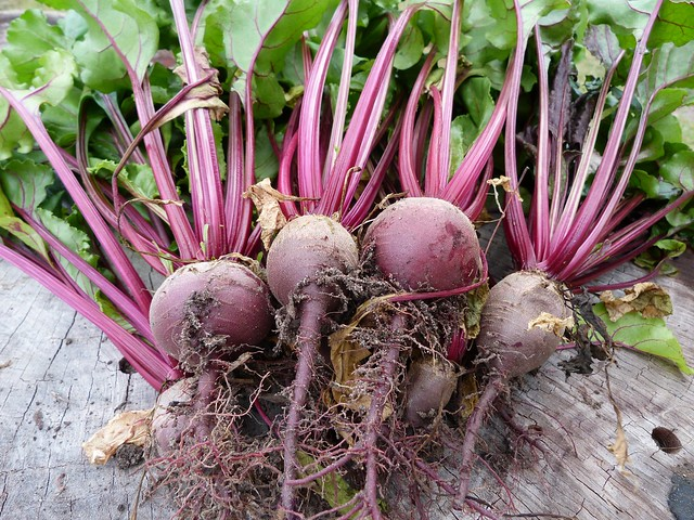 First beetroot harvest