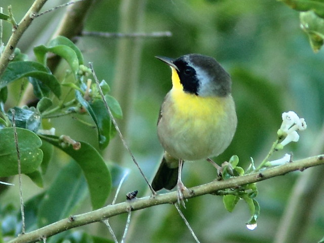 Common Yellowthroat 20120928