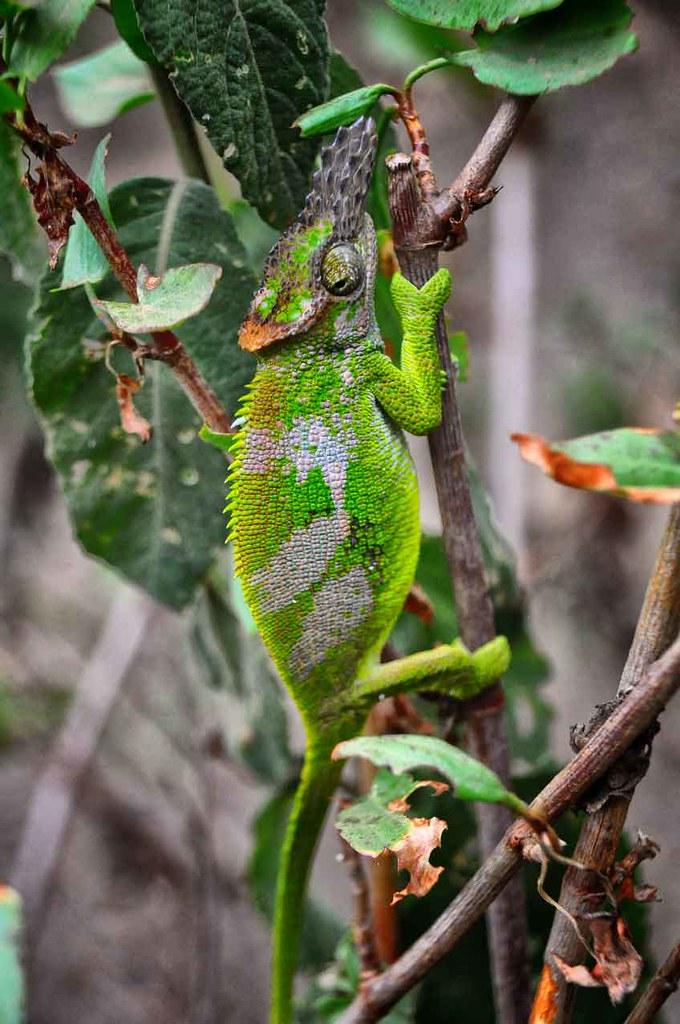 Green Chameleon, Tanzania