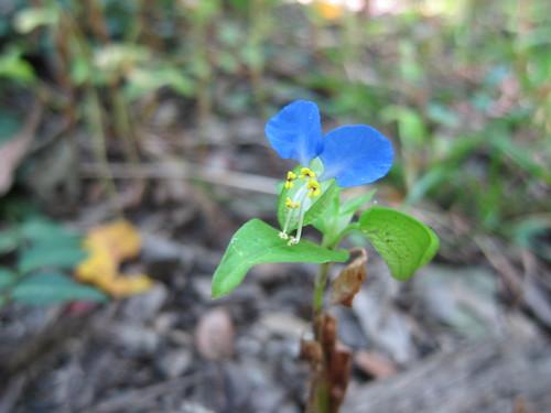 tiny blue beauty