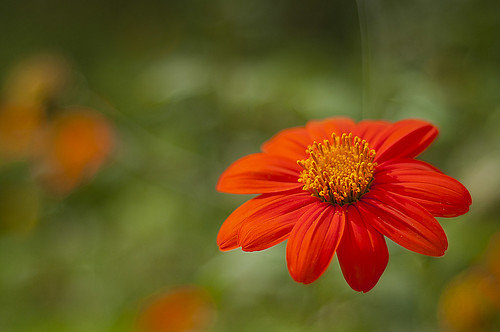 A flower.......Orange by sushiraider