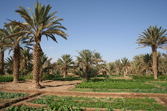 Palm trees in Merzouga oasis Morocco
