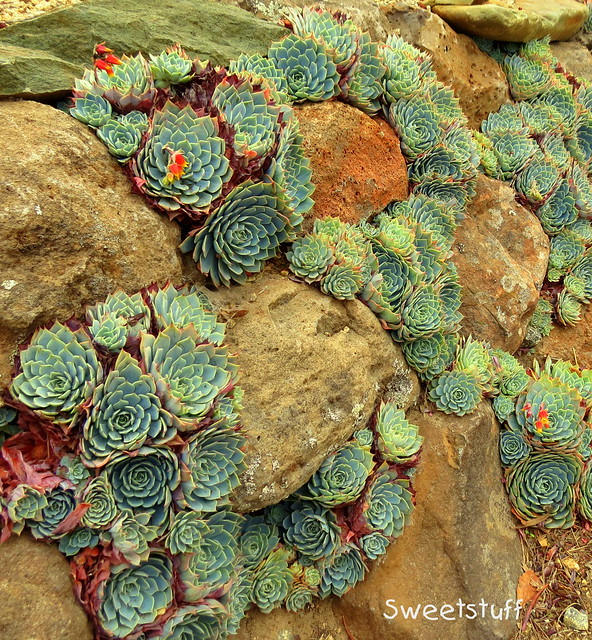 Echeveria imbricata in rock wall