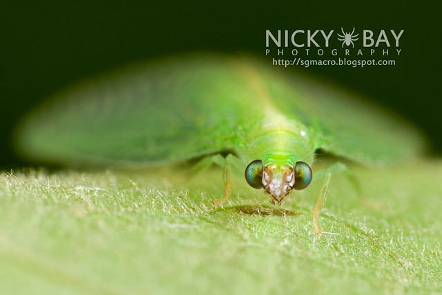 Green Lacewing (Chrysopidae) - DSC_6054