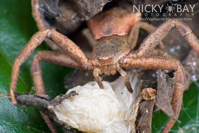 Crab Spider (Thomisidae) - DSC_6079