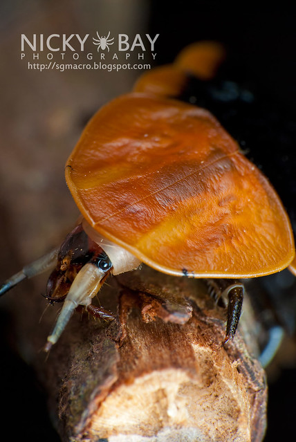 Firefly larva (Lampyridae) - DSC_5799