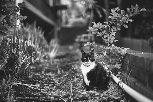 Rambo the Cat by twoguineapigs Pet Photography [4]