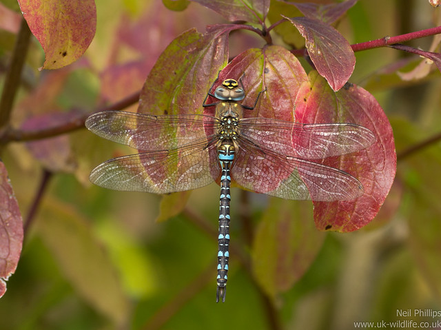 Migrant hawker dragonfly Aeshna mixta 4