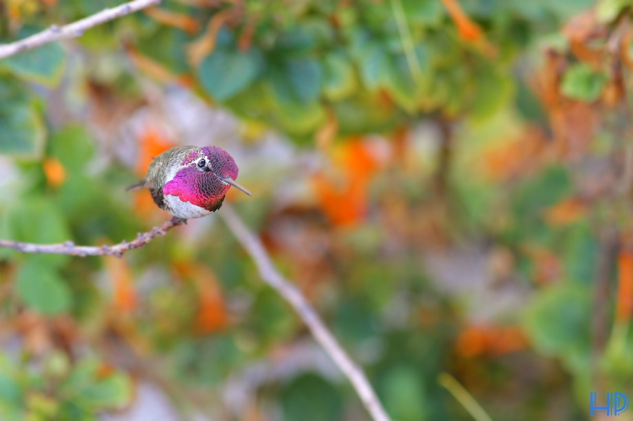 Anna's Hummingbird 100712