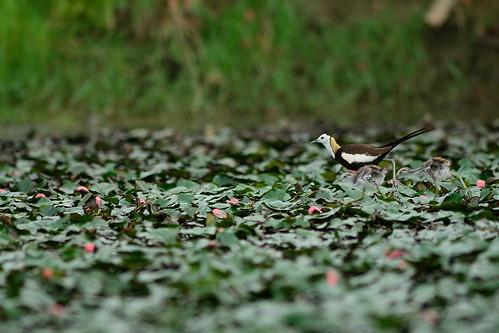 菱角田與披著繁殖羽的水雉,輝映成官田農田獨特的樣貌,因為綠保標章的推動,水雉將可於此地建立樂活國度。(攝影:林青峰)