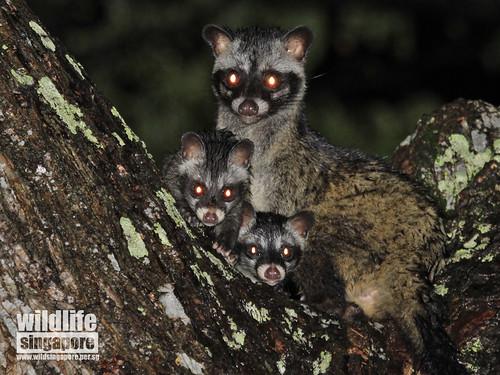 Common Palm Civets in Siglap Estate