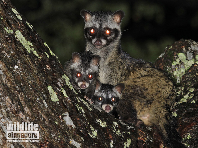 Common Palm Civets in Siglap Estate