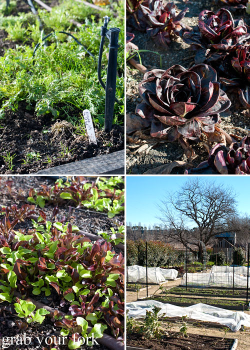 Mizuna lettuce radicchio and salad leaves in the restaurant garden plot at Grazing in Gundaroo