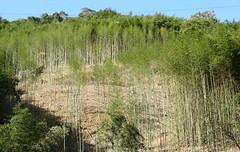 石門水庫轄區桂竹林更新生長迅速。(林業試驗所提供)