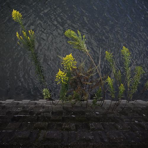 Goldenrod Canal Riverside Embankment
