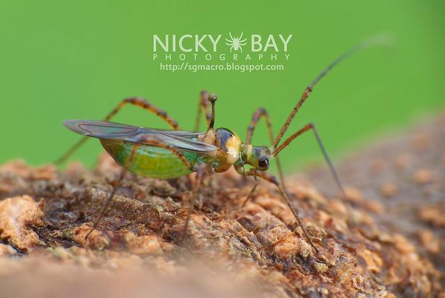 Mirid Bug? (Miridae?) - DSC_2541