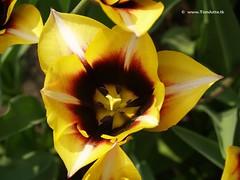 Dutch Tulips, Keukenhof Gardens, Holland - 0740