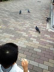 朝散歩 - 鳩 (2012/10/10)