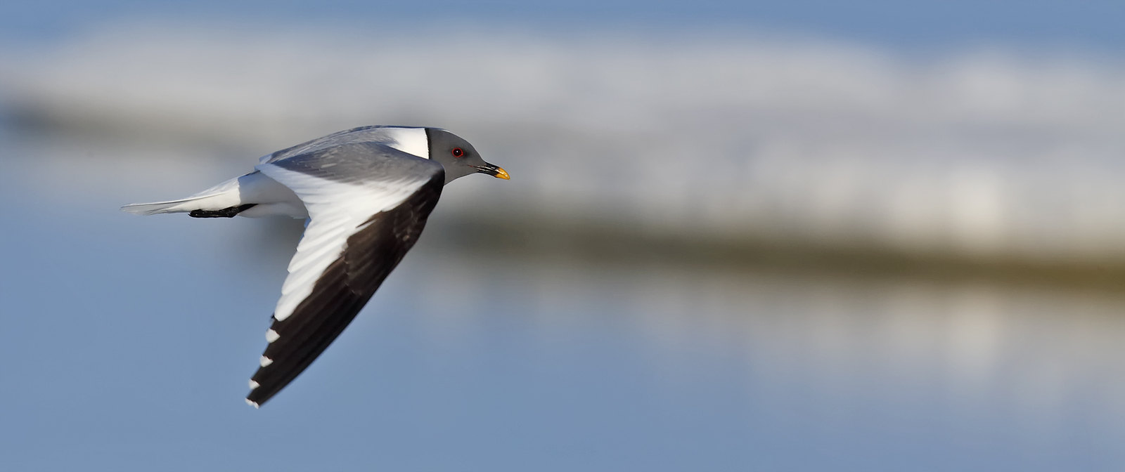 Sabine's Gull