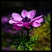 Anemone by Different Aspects