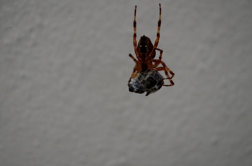 Fly trapped by Spider by This Window