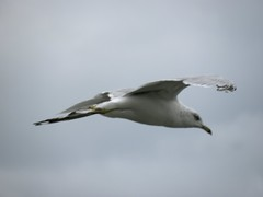 animal, wing, fauna, european herring gull, gannet, beak, bird, flight, seabird,