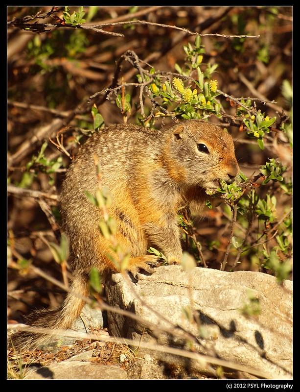 Arctic ground squirrel (Spermophilus parryii)