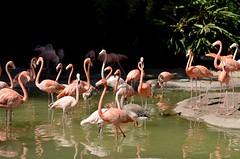 Flamingos - San Diego Zoo