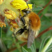 Bombus humilis (Brown-banded Carder-bee)