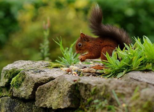 Female Squirrel in Profile