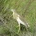 Squacco Heron (Peter Dunn)