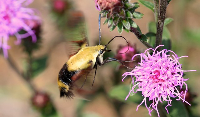 Snowberry Clearwing on Blazing Star