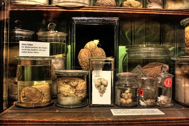 Frankfurt am Main - Senkenberg Museum - Sammlungswelten – Anatomie im Glas Gehirne 01