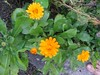 calendula (Calendula officinalis and C. arvensis)