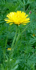 annual plant, prairie, dandelion, flower, field, yellow, plant, sow thistles, flatweed, herb, wildflower, flora,