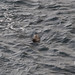 Small photo of Seal in Water