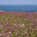 Skomer flower meadow