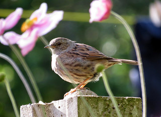 Dunnock Blurred Flowers