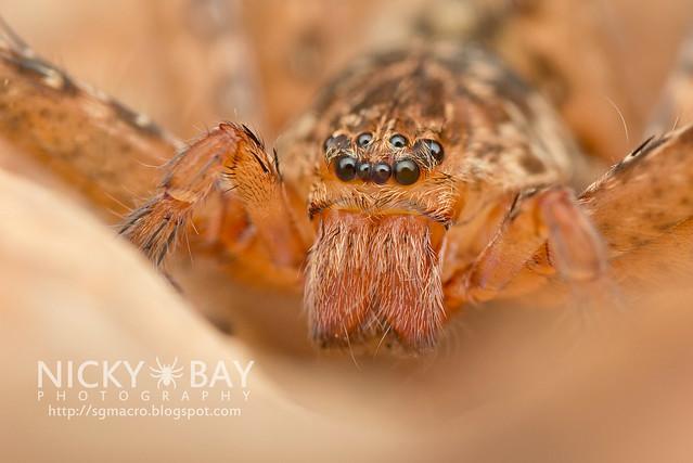 Huntsman Spider (Sparassidae) - DSC_5880
