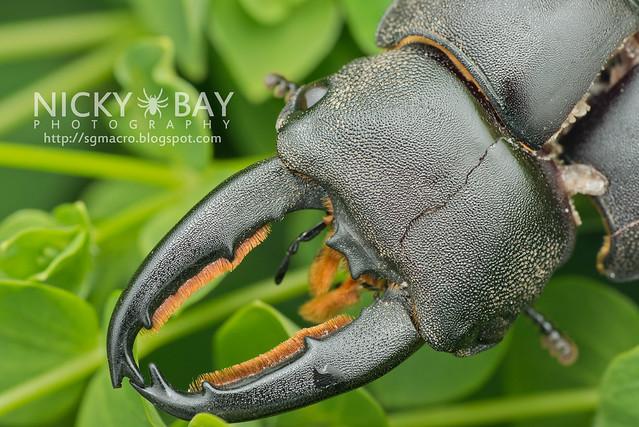 Stag Beetle (Lucanidae) - DSC_5635