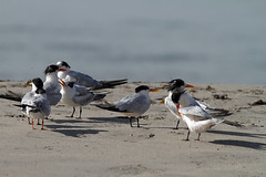 Elegant Terns with a Forster's Tern