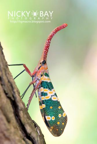 Lantern Bug (Pyrops candelaria) - DSC_3762